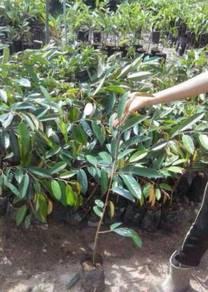 Anak pokok Durian Bantal Mas