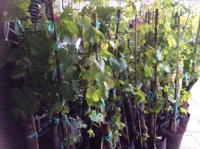 Anak pokok anggur tak Ada biji