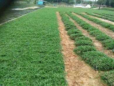 Tanam rumput direct ladang