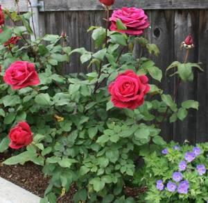 Rose Plants Misting System - DIY kit Auto Timer