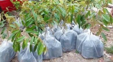 Anak pokok Durian Manthong Hybrid