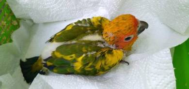 Burung Baby SunConure HighYellow Bird parrot