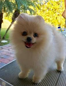 Cream Pomeranian puppies with MKA