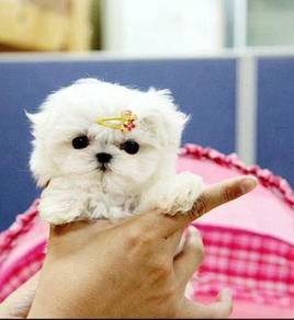 Beautiful baby maltese Puppies Kc Reg