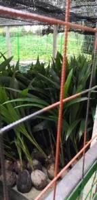 Benih kelapa sungai gulang gulang