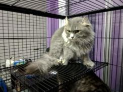 American Curl Mix Maincoon Cat (DLH)