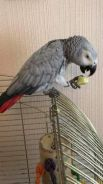 Silly tame African gray parrots