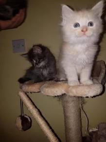 Maine coon kittens ready to go now