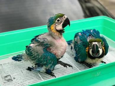 Burung parrot blue and gold macaw