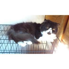 Male highnose persian / kucing parsi 01