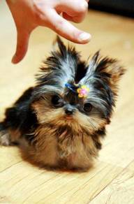 Tcup Yorkie puppies Home trained with mka