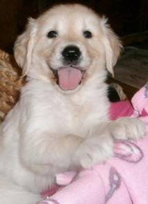 2 Golden retriever puppies for sale this period