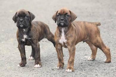 [CAT LITTER SALE] Boxer Puppies