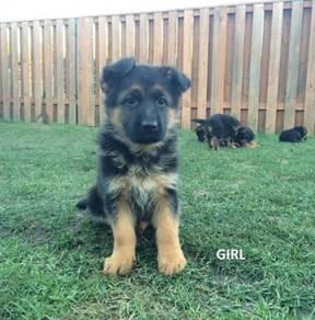 German Shepherd Puppies Dog