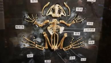American bull frog skeleton framed SLG