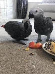 Male and Female Pair of talkative AFrican Grey