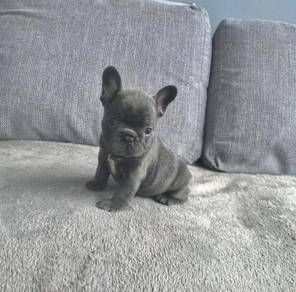Kc Registered Blue French Bulldog Puppies