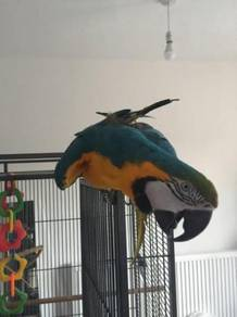 Kg + Free Gift Macaw parrots