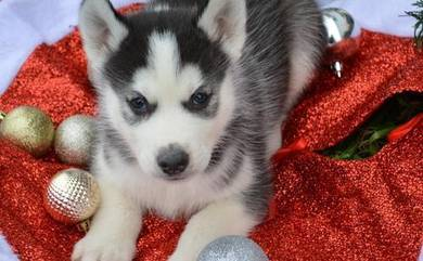 Siberian Black and white husky puppies with mka