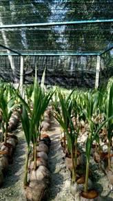 Benih kelapa sggori & kelapa gading rendah
