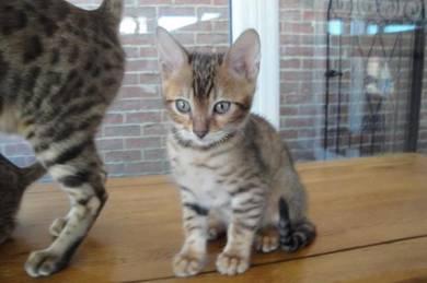Fairfield Naturals Omega 3 Bengal Cats