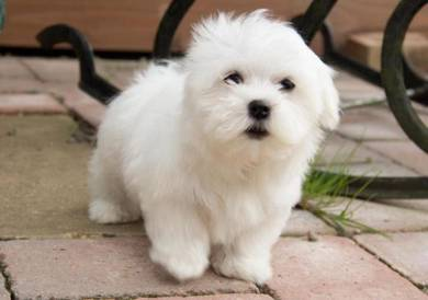 MKA Maltese Puppy 9 weeks girl
