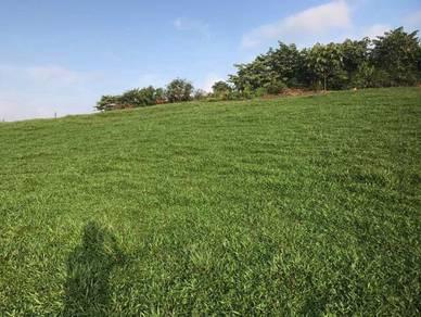 Supply cow grass - rumput
