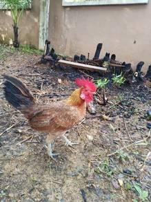 Ayam Rare Bulu Betina