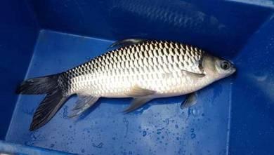 Ikan Jelawat Putih, White Sultan, Jelawat Sungai