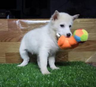 Show white husky puppies