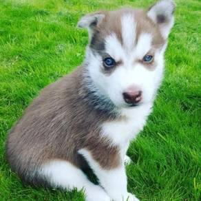 Home Trained Siberian Husky MKA registered Puppies