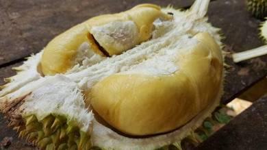 Baja Durian Baja Buah Baja Buah Durian Berkesan