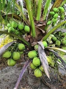 Benih kelapa pandanmalaya /SGG TULEN