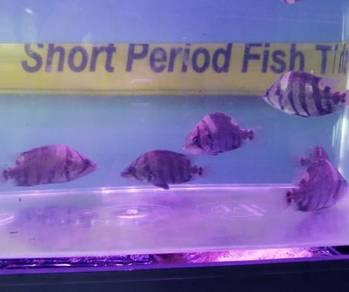 America tiger Fish