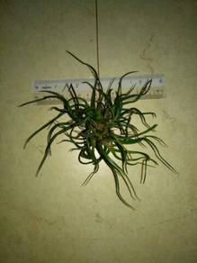 Tillandsia bulbosa miniature clump