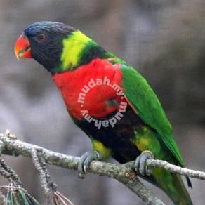 Burung Baby Rainbow Lorikeet hybrid Parrot Bird