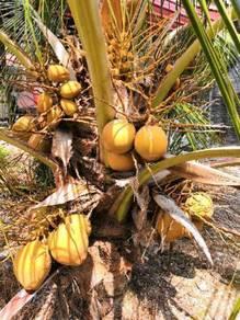 Benih kelapa mawar/ SGG TULEN