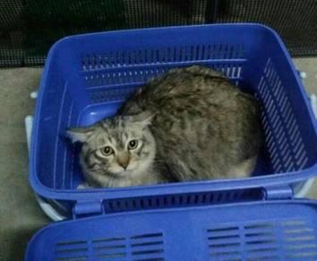 Kucing Parsi.