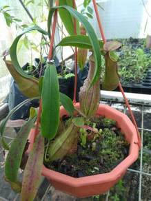 Nepenthes pitcher plant periuk kera