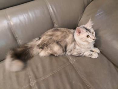 Pure breed maine coon MCO CFA certified