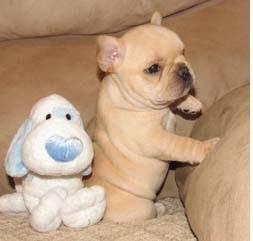 Pure Breed Well TYrained French en Bulldog Puppies