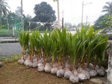 Benih kelapa matag G2
