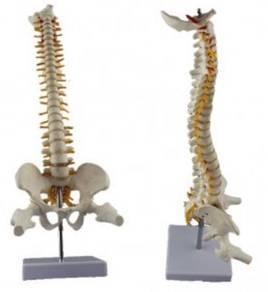 Model Tulang Belakang vertebrae spine human health