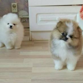 Nice quality Pomeranian