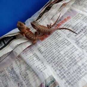 Red bearded dragon trans