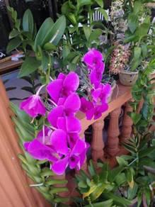 Baja dan Ubat Pokok Bunga Orkid Jenama Mas Hitam