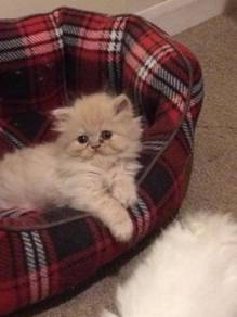 Kucing parsi persian kitten comel
