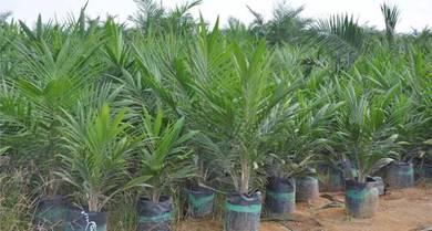 Anak pokok sawit