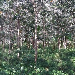 Kebun getah muda untuk dijual di Kg Titi Akar , Pendang