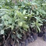 Anak pokok mangga chokanan(MA224)